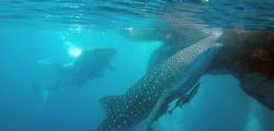 Hiu paus di Teluk Cenderawasih (Sumber: telukcenderawasihnationalpark.com)