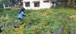 Mahasiswa KKN menyiram sayuran terong yang ada di Greenhouse