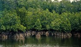 Hutan mangrove. Foto: dictio.id
