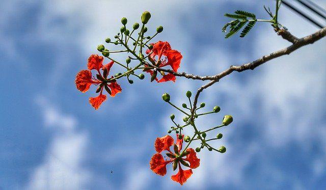 Flamboyan. image pixabay/Suanpa