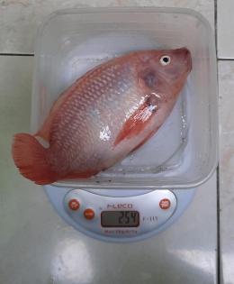 Bobot ikan nila