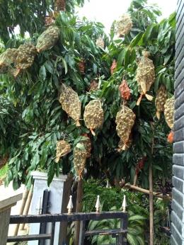 Salah satu sudutt dari pohon kelengkeng kami sekitar setahun yang lalu, total hampir 80 kg satu pohon. (dokumentasi pribadi)