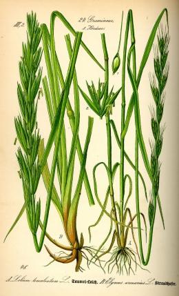 Gandum dan lalang. Sumber gambar:https://id.wikipedia.org/wiki/Berkas:Illustration_Leymus_arenarius_and_Lolium_temulentum0.jpg