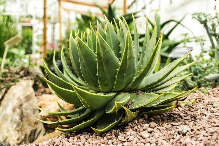 Ilustrasi tanaman lidah buaya atau Aloe vera. (sumber: UNSPLASH/JORDAN MORRIS via kompas.com)