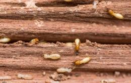 Ilustrasi rayap pada furnitur kayu. sumber: pestcontroljakarta.com