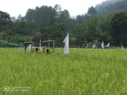 Padi yang mulai menguning di sawah dekat sungai (Dokpri)