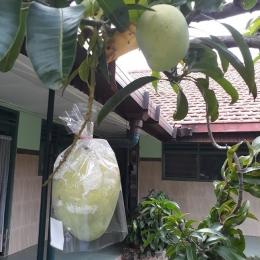 Salah satu pohon mangga di halaman depan biara yang selalu berbuah (dok pri)