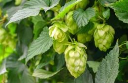 Inilah tanaman Hop untuk pembuatan bir Bavarian brewery Hops Boss yang sangat terkenal itu. (Foto: kostbarenatur.net).