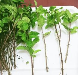 Ilustrasi batang mint yang siap ditumbuhkan menjadi tanaman mint | Dokumentasi pribadi