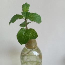 Ilustrasi batang mint yang dipotong dan dimasukkan ke dalam botol berisi air | Dokumentasi pribadi