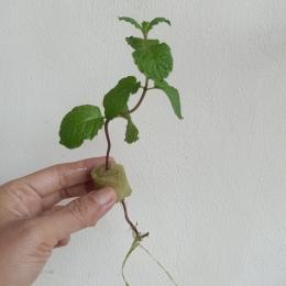 Ilustrasi batang mint yang mulai muncul akar | Dokumentasi pribadi