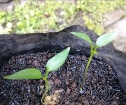 Bibit tanaman | Dokumentasi pribadi