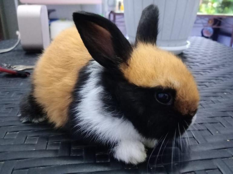 Kelinci berwarna memikat yang saya beli. (sumber: dokumentasi pribadi)