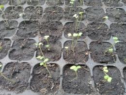 Pertumbuhan tanaman baru tak selalu bersamaan tergantung mutu benih. (dokumen pribadi)