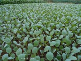 Pembibitan brokoli secara tepat dan siap tanam. (dokumen pribadi)