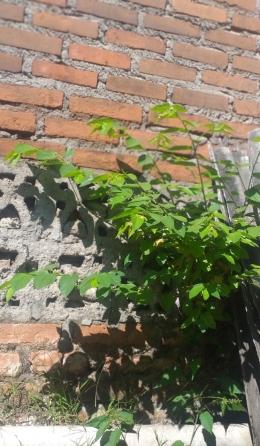 Pohon Kersen yang Nempel di Tembok Tetangga | Dokumen Pribadi