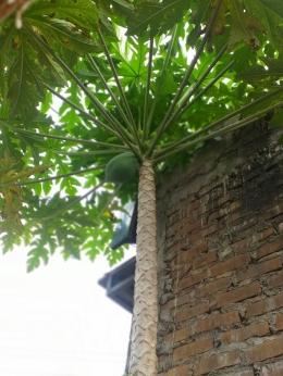 Pohon Pepaya | Dokumen Pribadi