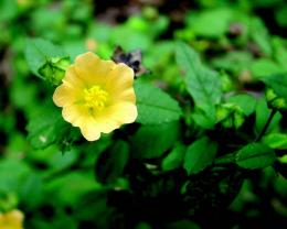 Sida rhombifolia (sumber: indiabiodiversity.org)