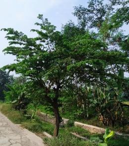 Pohon kersen yang tumbuh di pinggir kali (dok.pri)