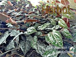 Daun Sirih Herbal Potensial Antivirus dan Imun Booster (Dokpri)