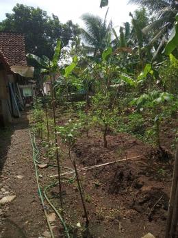 Ilustrasi Berbagai jenis tanaman tumpang sari di pekarangan samping rumah. Sumber: Dokumentasi Pribadi