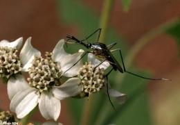 Ilustrasi nyamuk yang menghisap nektar bunga