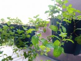 Ilustrasi tanaman mint di rumah kami | Foto Seliara