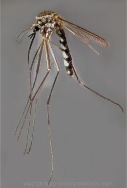 Ilustrasi nyamuk Armigeres sp (wrbu.si.edu)