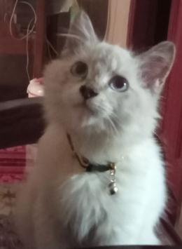 Kucing saya, Himalaya (dok.pri)