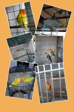 Burung Lovebird dengan berbagai warna (Dokumen Siska Artati olah gambar inCollage)