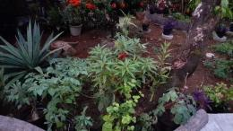 Dokpri: koleksi tanaman pacar air
