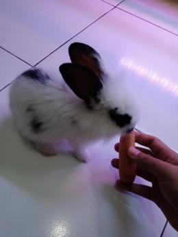 Kelinci saya yang sesekali ada bulu gimbalnya, sumber: dokumentasi pribadi