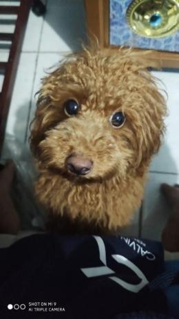 Anjing pudel saya saat itu, sumber: dokumentasi pribadi