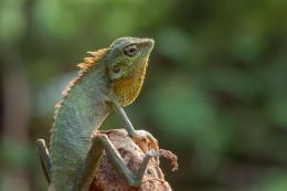 Ilustrasi kadal pohon (Foto: DSlight_photography/Shutterstock via kompas.com)
