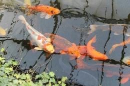 Tip Sukses Memelihara Ikan Koi (Foto : pixabay.com/NatalieStamer)