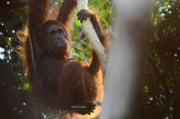 Orangutan si petani hutan. (Foto : Erik Sulidra/YP).