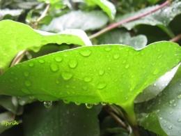 Bagai Air di Daun Binahong (Dokumen pribadi)