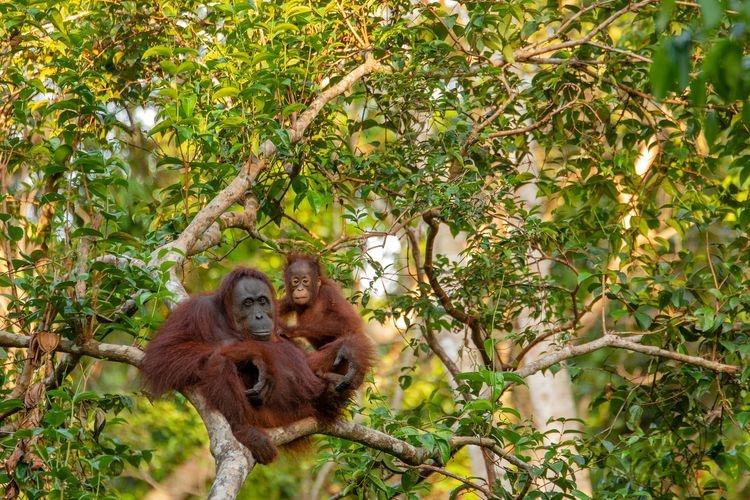 Ilustrasi induk orangutan dan anaknya. Sumber: Pixabay via Kompas.com
