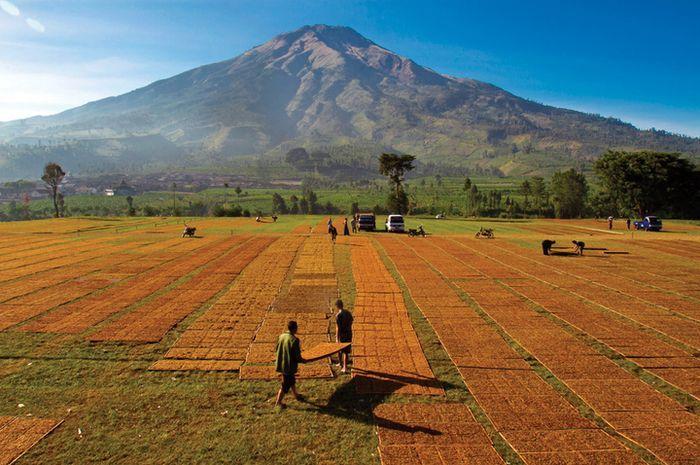 Tanah Desa Gunungsari menjadi sangat subur karena terletak di sekitar daerah gunung berapi, Gunung Sumbing. Sumber: National Geographic Indonesia.