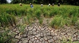 Ilustrasi gambar petani yang gagal panen [Antara Foto/Rahmad]