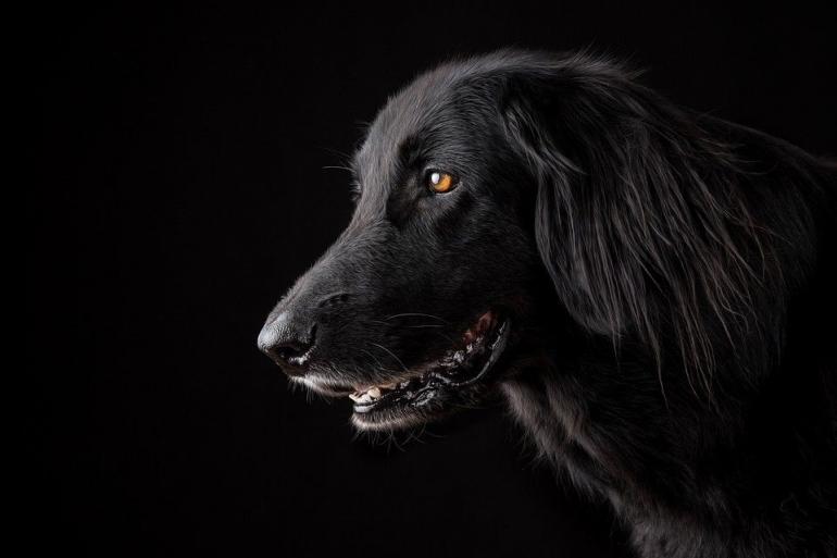 foto anjing hitam, pixabay.com