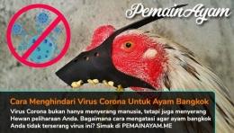 Cara Menghindari Virus Corona Untuk Ayam Bangkok Aduan (Dok. Pribadi)
