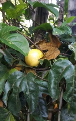 Akhirnya buah markisa saya di Jakarta berbunga dan berbuah (Foto: Irene Maria N.)