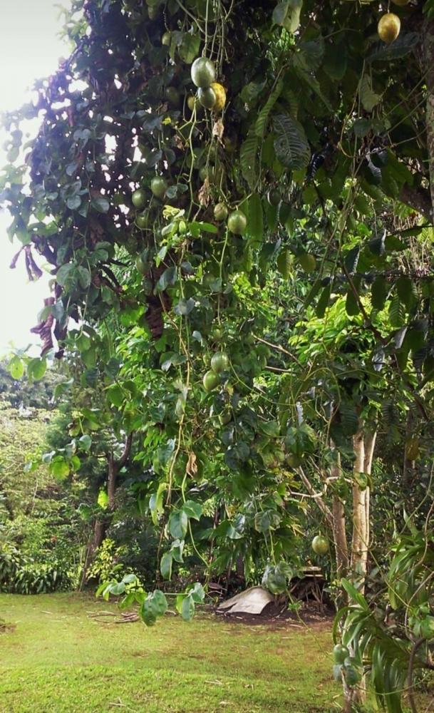 Pohon Markisa di Puncak, Bogor (foto: Irene Maria N.)