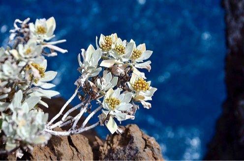 Edelweiss (sumber gambar: pixabay.com/diolah)