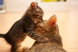 Ilustrasi induk kucing dan anak kucing (kitten)   sumber: my-best.id