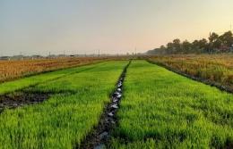 Benih padi untuk sawah 3,5 petak, foto pribadi