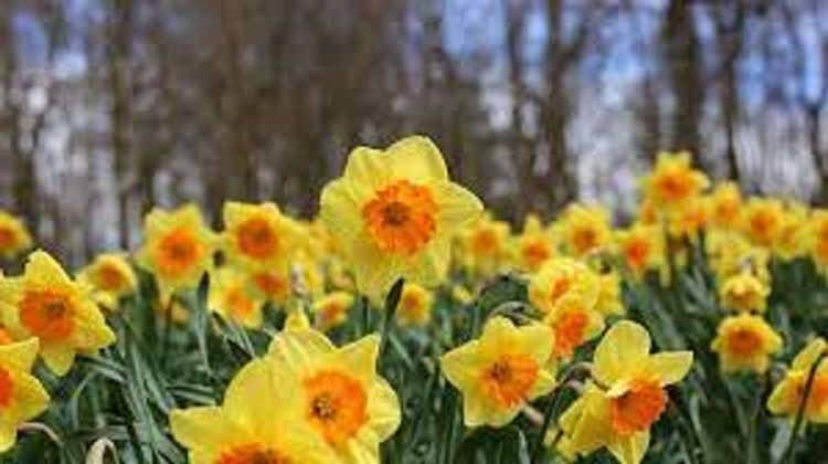 Si cantik Daffodils , bunga Bulan Maret ( dok pri )