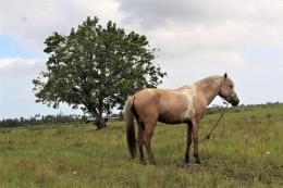 Kuda di lahan sawah yang sedang diistirahatkan (Marahalim Siagian)