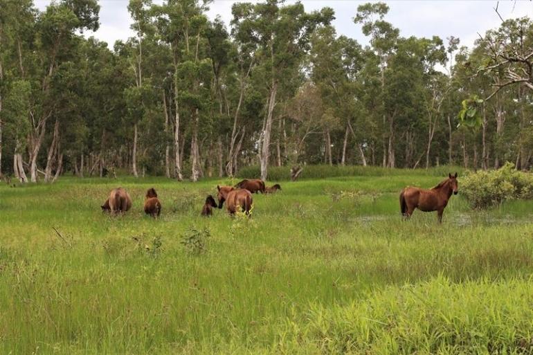 Kuda di Distrik Semangga di pelihara dalam bentuk semi liar (Marahalim Siagian)